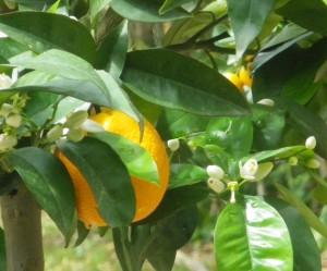 orangers 5 bis redim