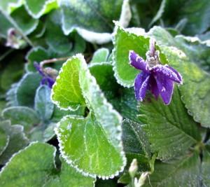 Violettes et gelée blanche 3 2016 05 08
